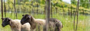 txakoli-ecologico-ovejas-vinedo